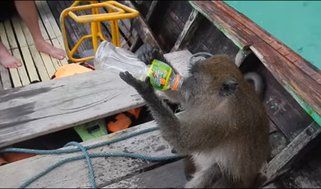monkey drinks vodka.