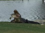 Massive Gator Chomps Down on Massive Fish on Popular Golf Course (Video.)