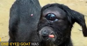 one eyed goat video.