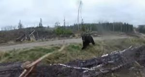 Bow Hunter Charged By Black Bear.