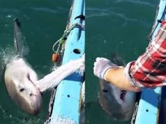 Fisherman Plays Tug Of War With Great White Shark (Video.)