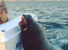 Sea Lion Ride the Back of a Boat Video. (2)