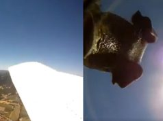 Camera Falls From Airplane While Recording, Lands With Curious Pigs.